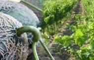 i feira do melão casca de carvalho e do vinho