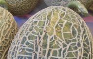 feira do melão casca de carvalho cancelada